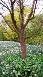 Acer griseum and daffs
