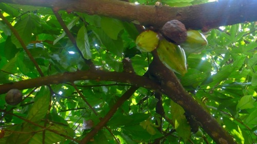 The cocoa tree (Theobroma cacao) is not native to India but thrives in the Kerala climate. Its flowers and beans grow directly from the trunk.