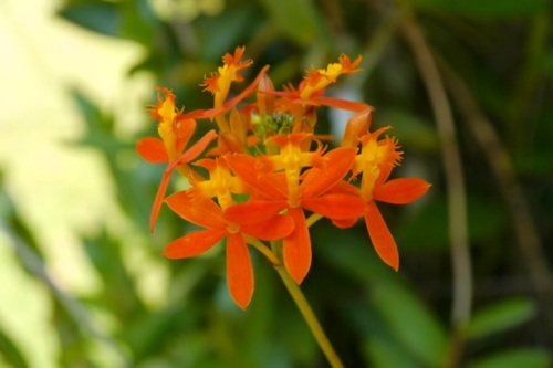 The holy cross orchid,  Epidendrum radicans, which is commonly grown in Kerala.