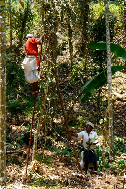 Workers harvesting black peppercorns from the vine Piper nigrum.