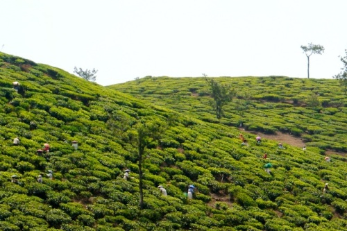 Tea pickers in Kerala today.