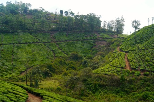 Tea plantation near Thekkady, Kerala.