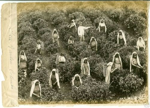 Tea pickers in the 1880s. Image from oldindianphotos.in